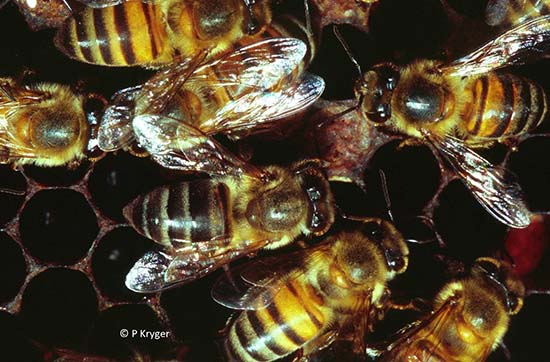 Cape bees and African bees